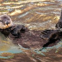 Adopter une loutre domestique ?
