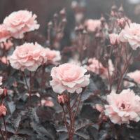 Noces de rose – 17 ans de mariage : idées cadeaux et signification