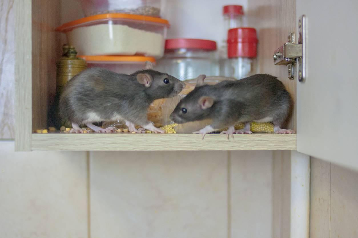 infestation de rats entreprise de dératisation